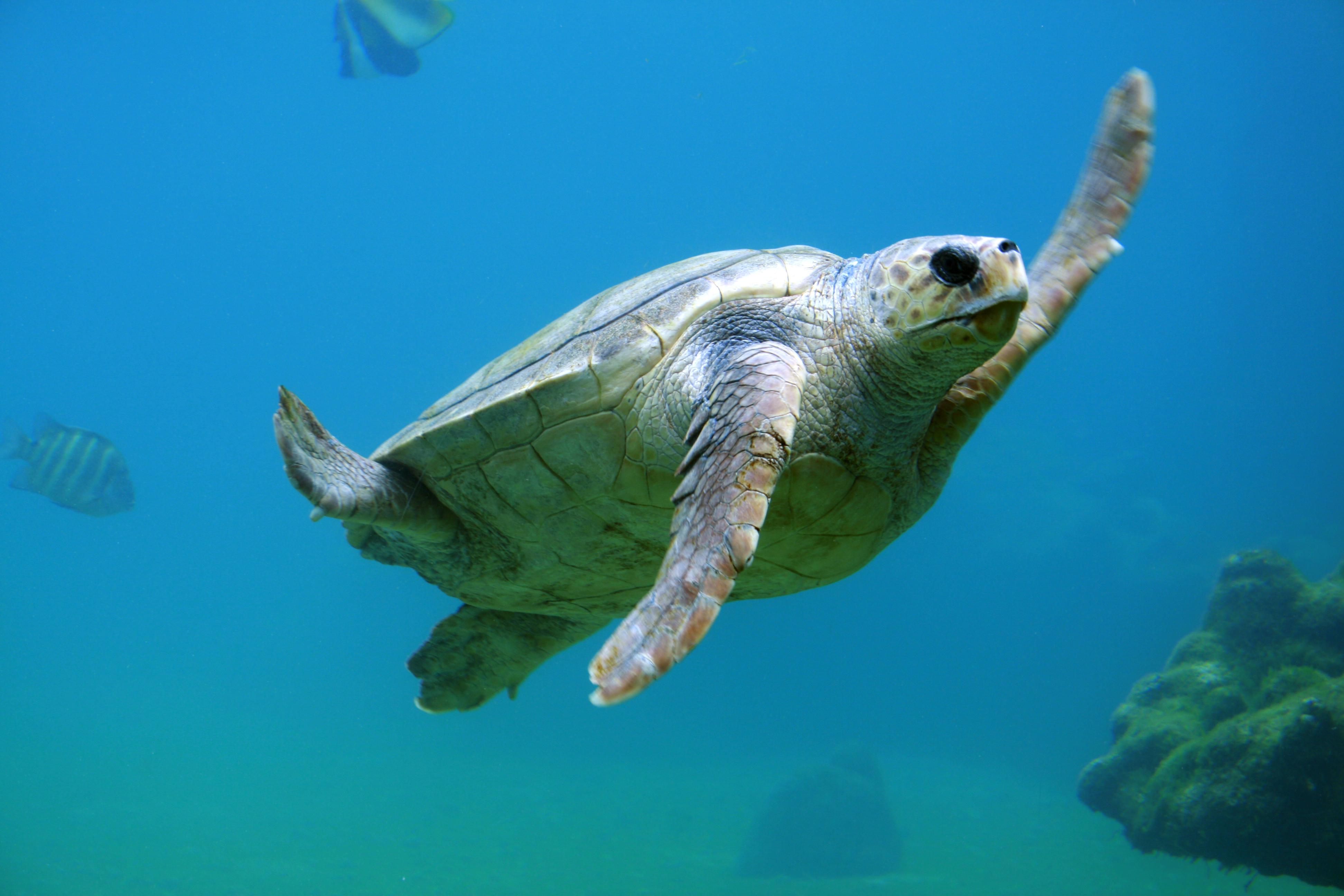 free stock photos of sea turtle pexels