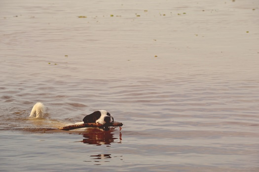 Black and White Short Coated Dog With Twig in It's Mouth Floating on Water