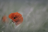 plant, flower, poppy