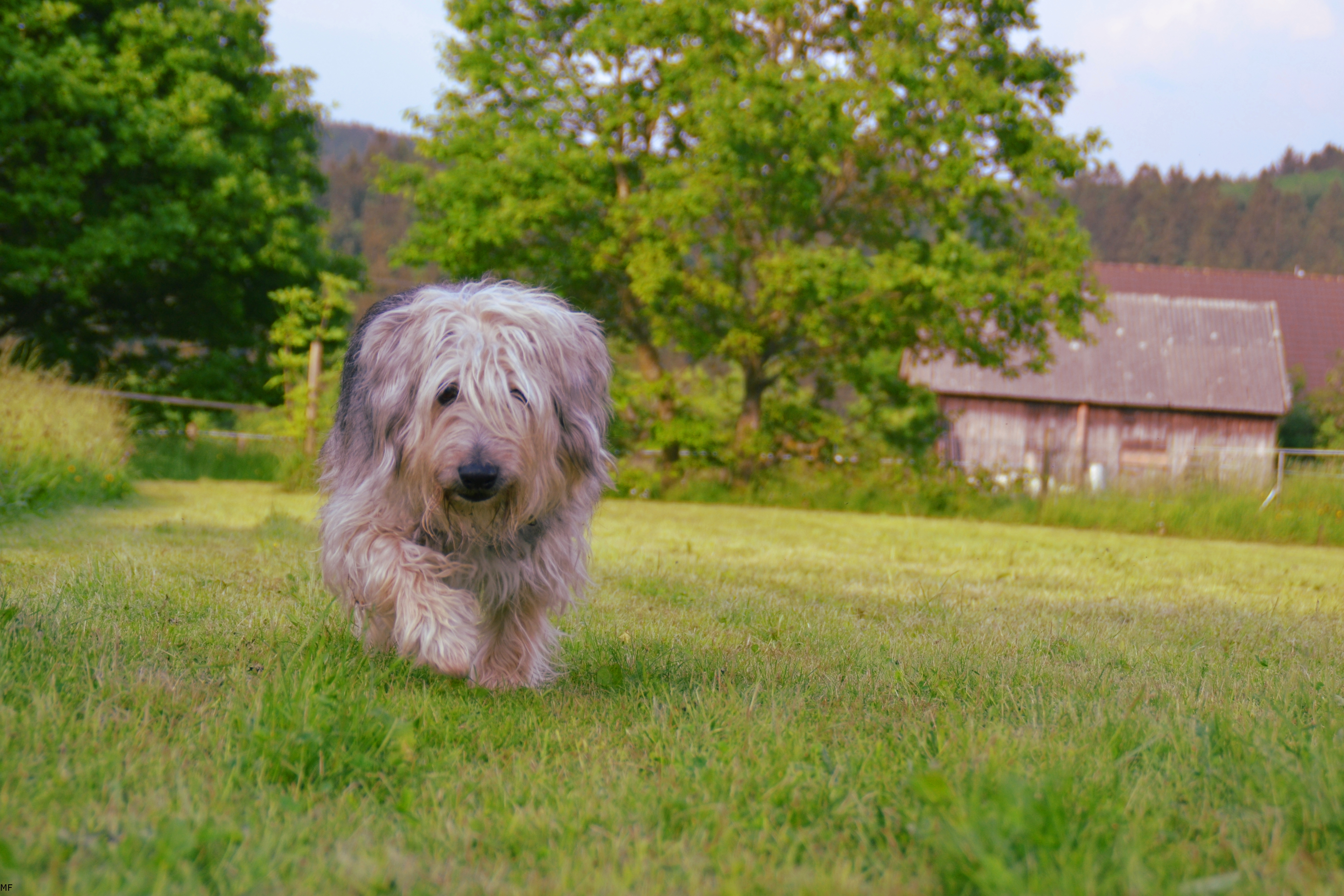 Brown Gray And White Hairy Medium Size Dog Walking On