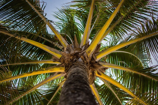Coconut Tree Low Angle Photography
