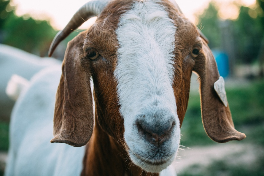 Shallow Focus Photography of White and Brown Goat