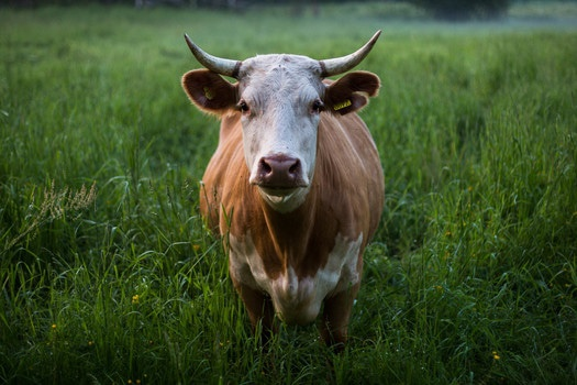 Brown and White Cow Standing on Green Grass Field at Daytime