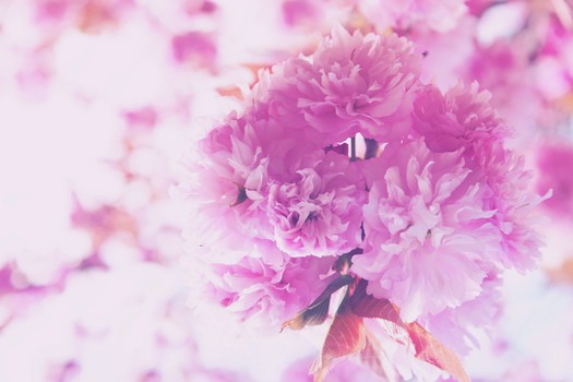 Purple Petaled Cluster Flower