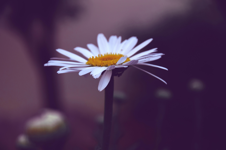 photo of white and yellow daisy flower free stock photo