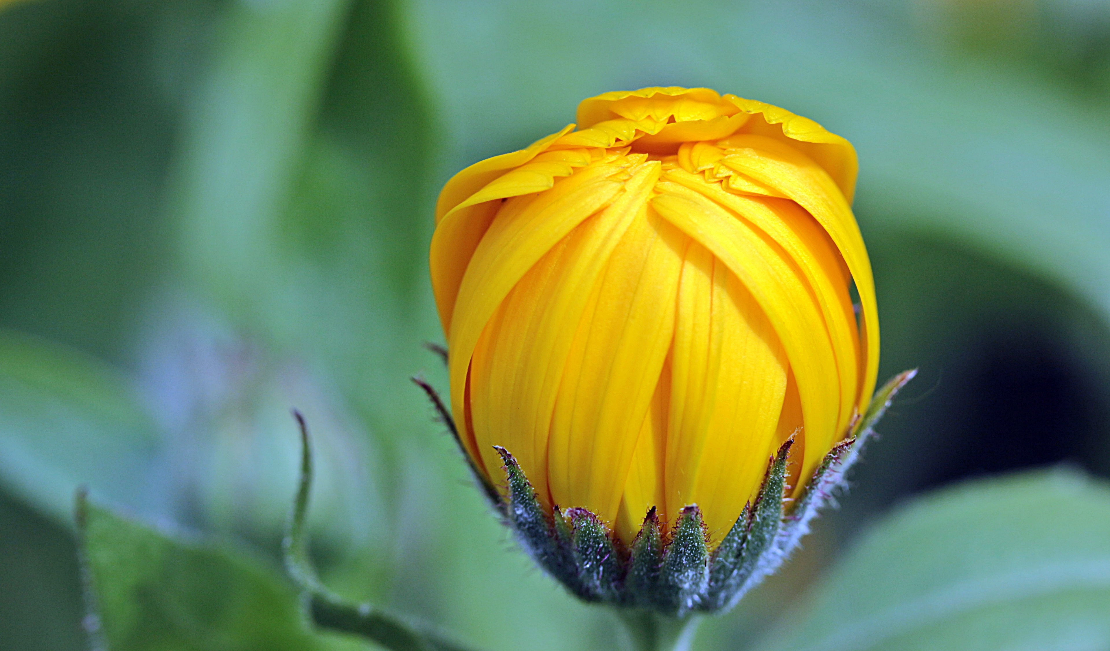 Yellow Flower Bud During Day Time 183 Free Stock Photo
