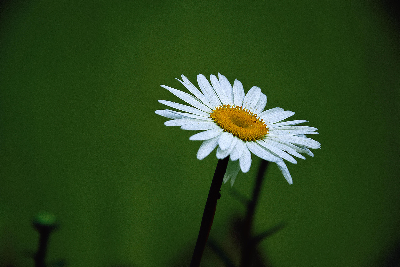 yellow and white daisy flower · free stock photo, Beautiful flower