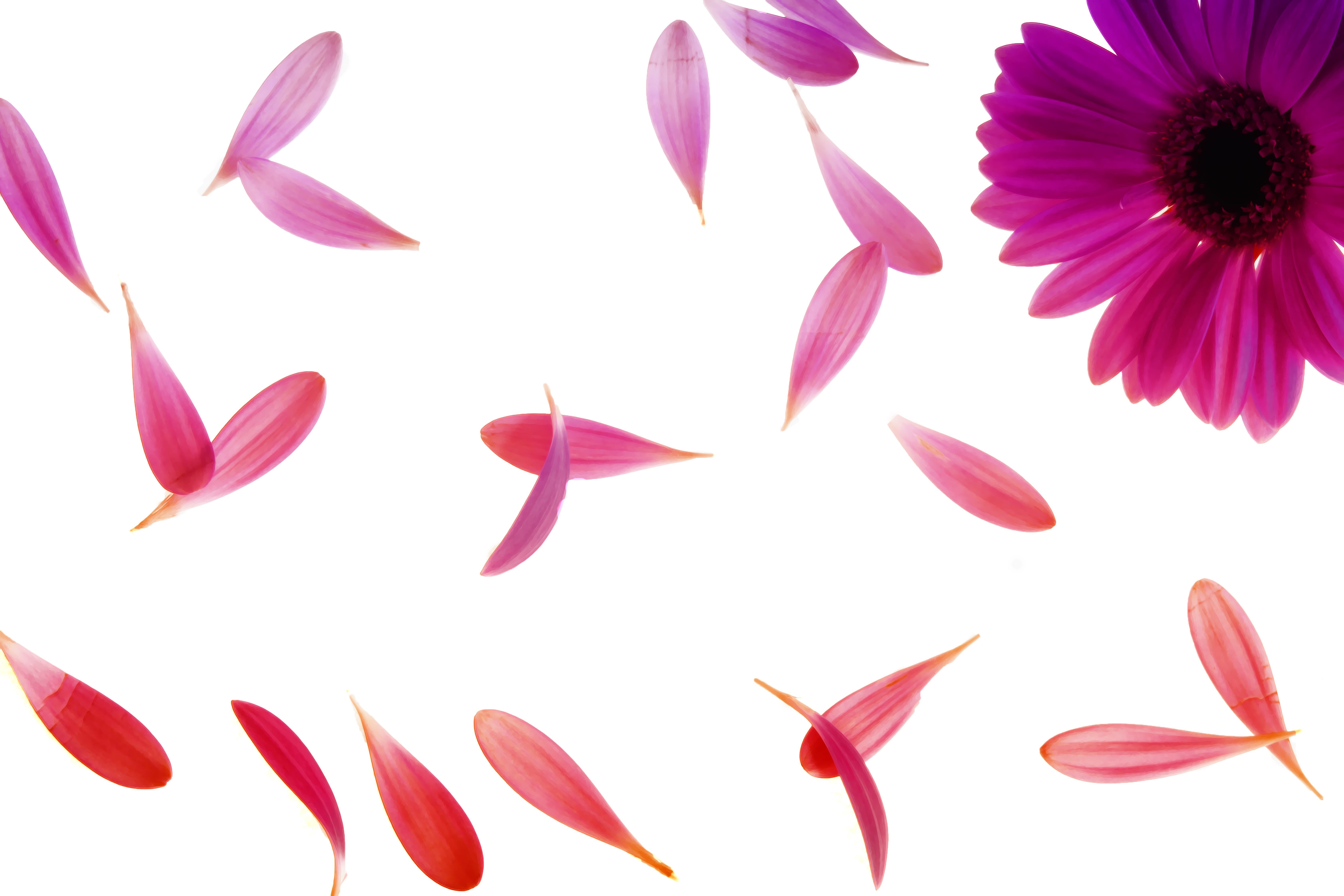 Purple Petaled Flower  U00b7 Free Stock Photo