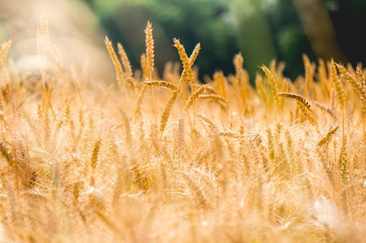Free stock photo of bread, field, agriculture, farm