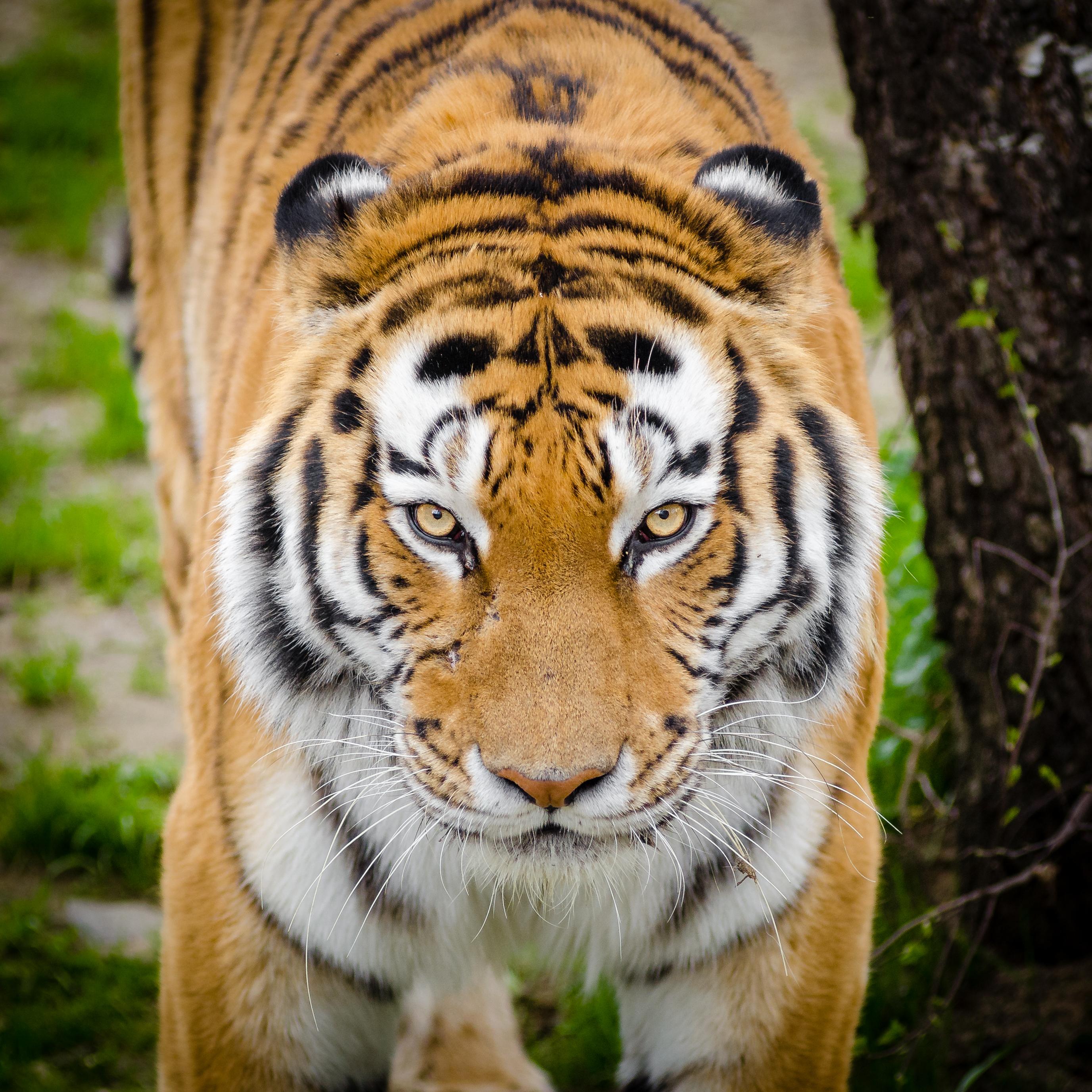 tiger beside tree free stock photo