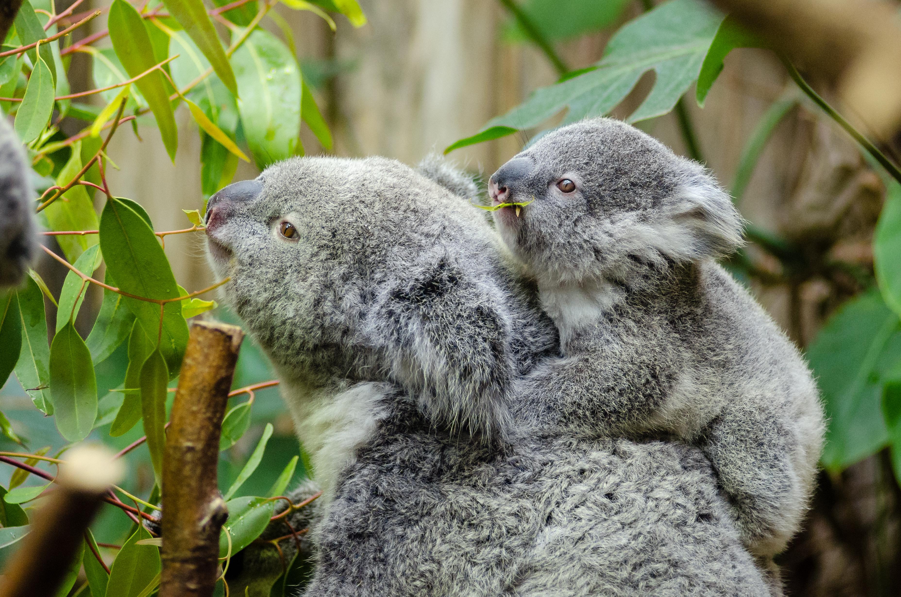 koala bear with baby on back free stock photo