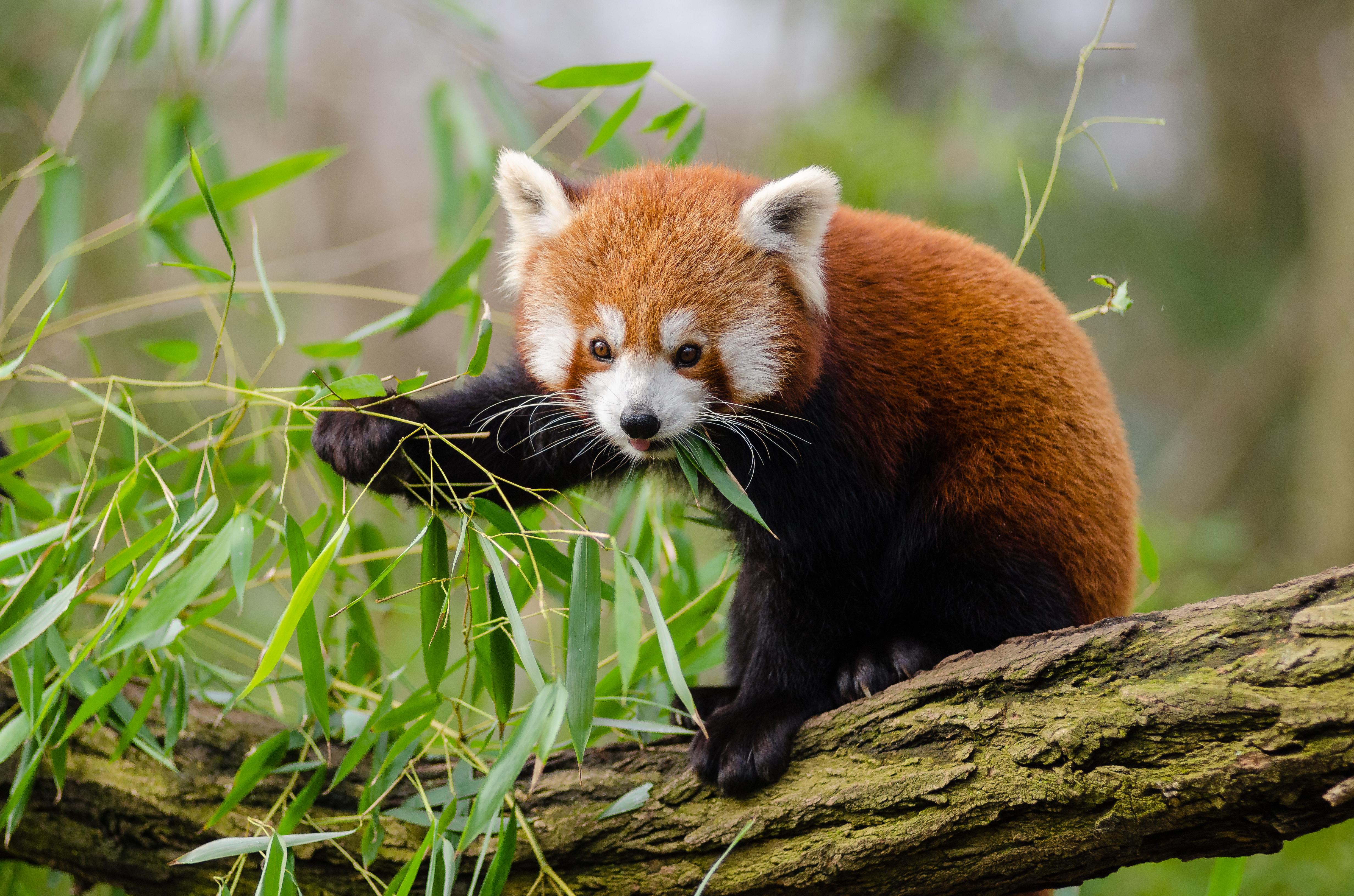木の葉をむしゃむしゃ食べるレッサーパンダの赤ちゃん
