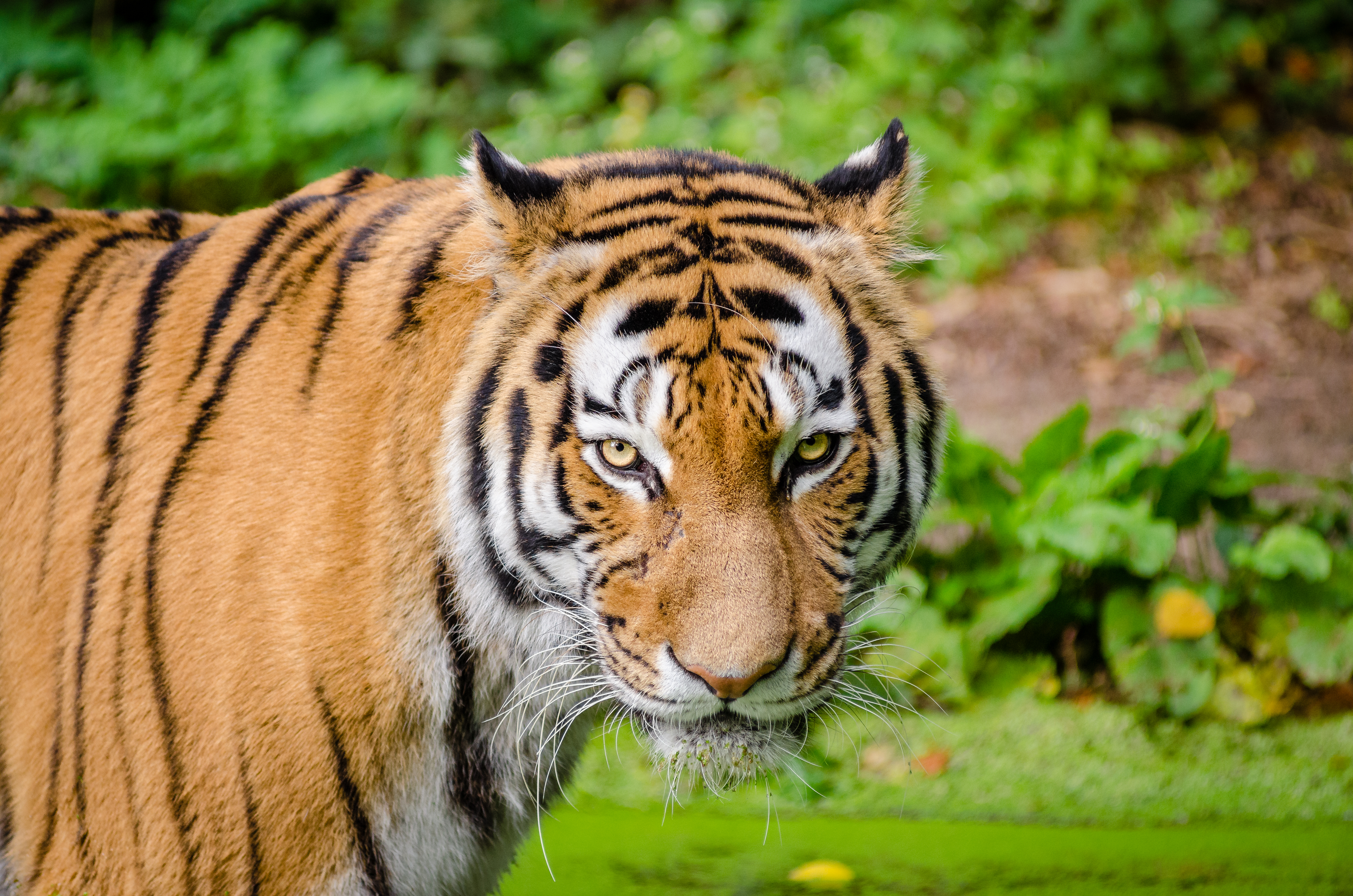 Tiger Pictures Pexels Free Stock Photos