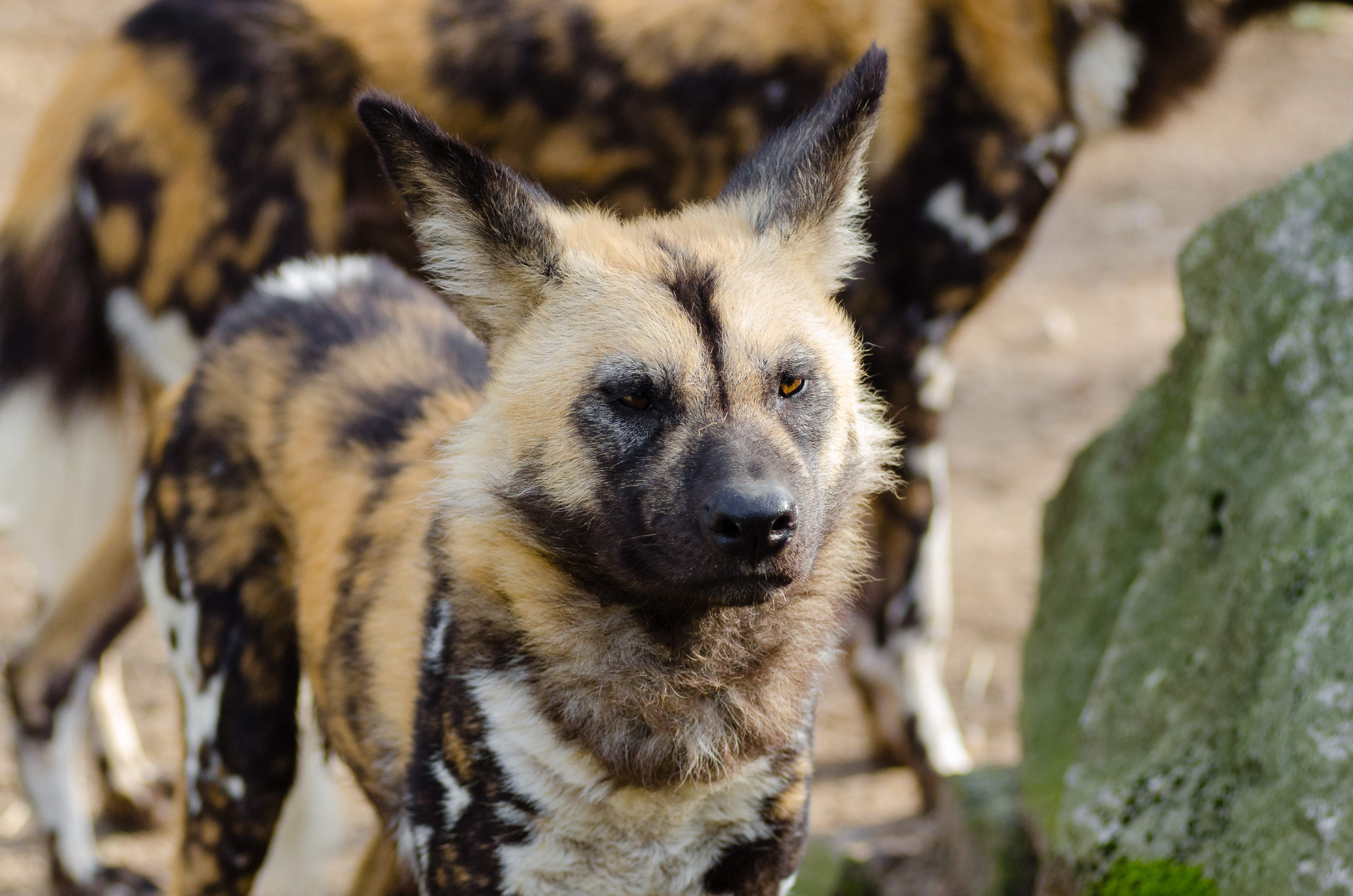 African Wild Dog 183 Free Stock Photo