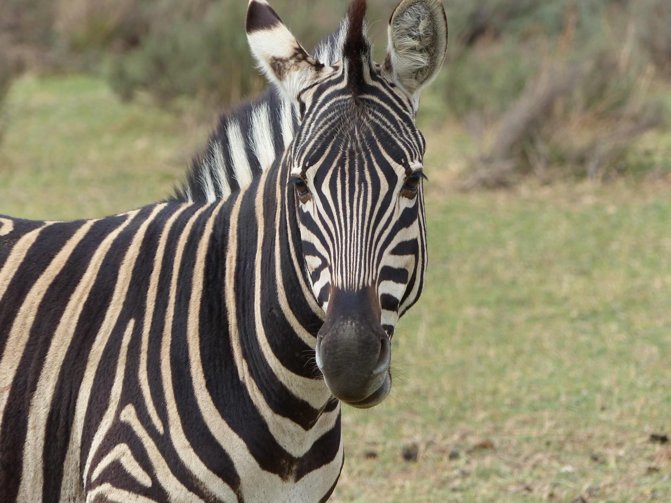 zebra animal looking head close wildlife standing portrait horse mammal daytime pexels striped fauna vertebrate safari outdoors nature pattern similar