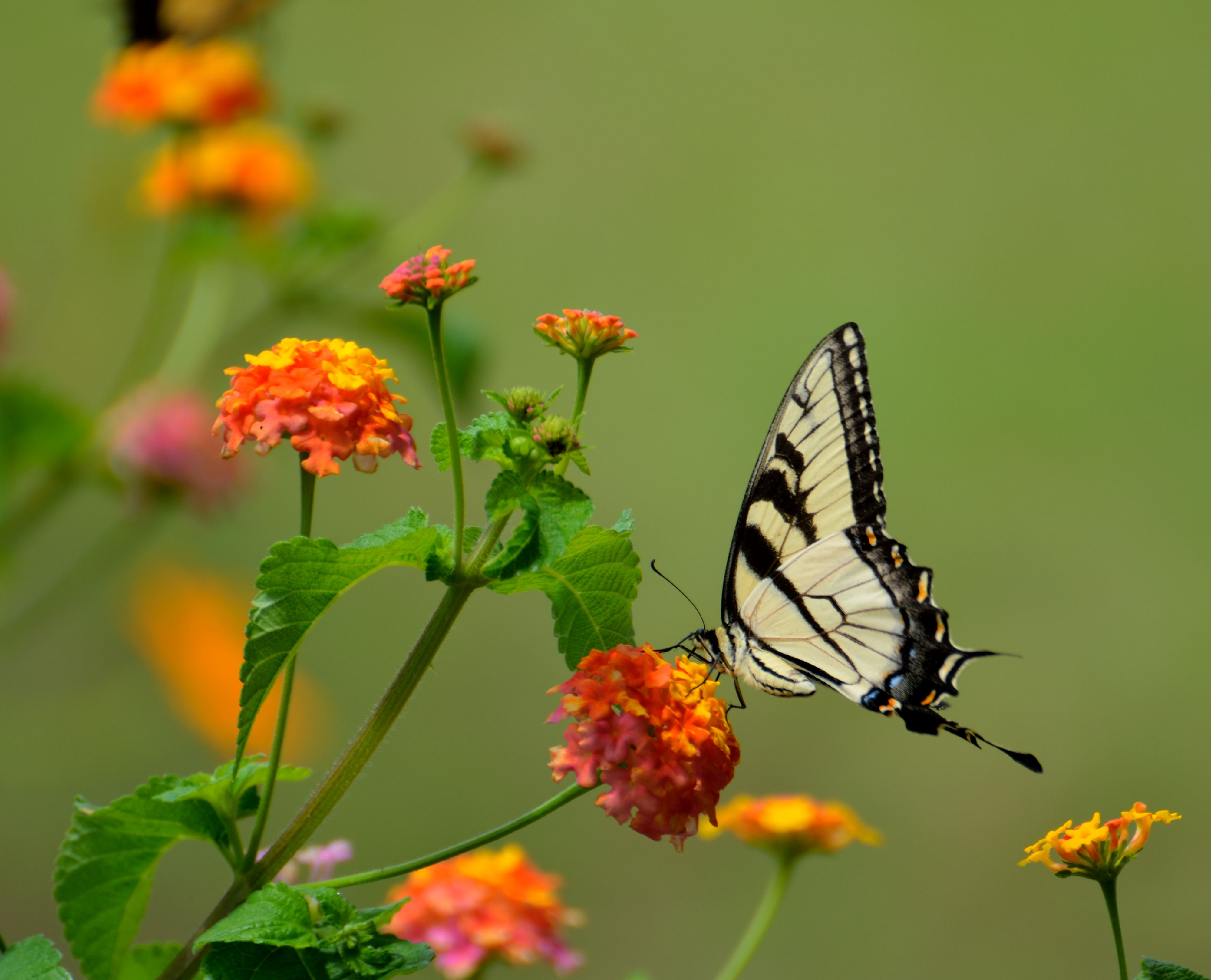 white and black butterfly on yellow flower in macro photography