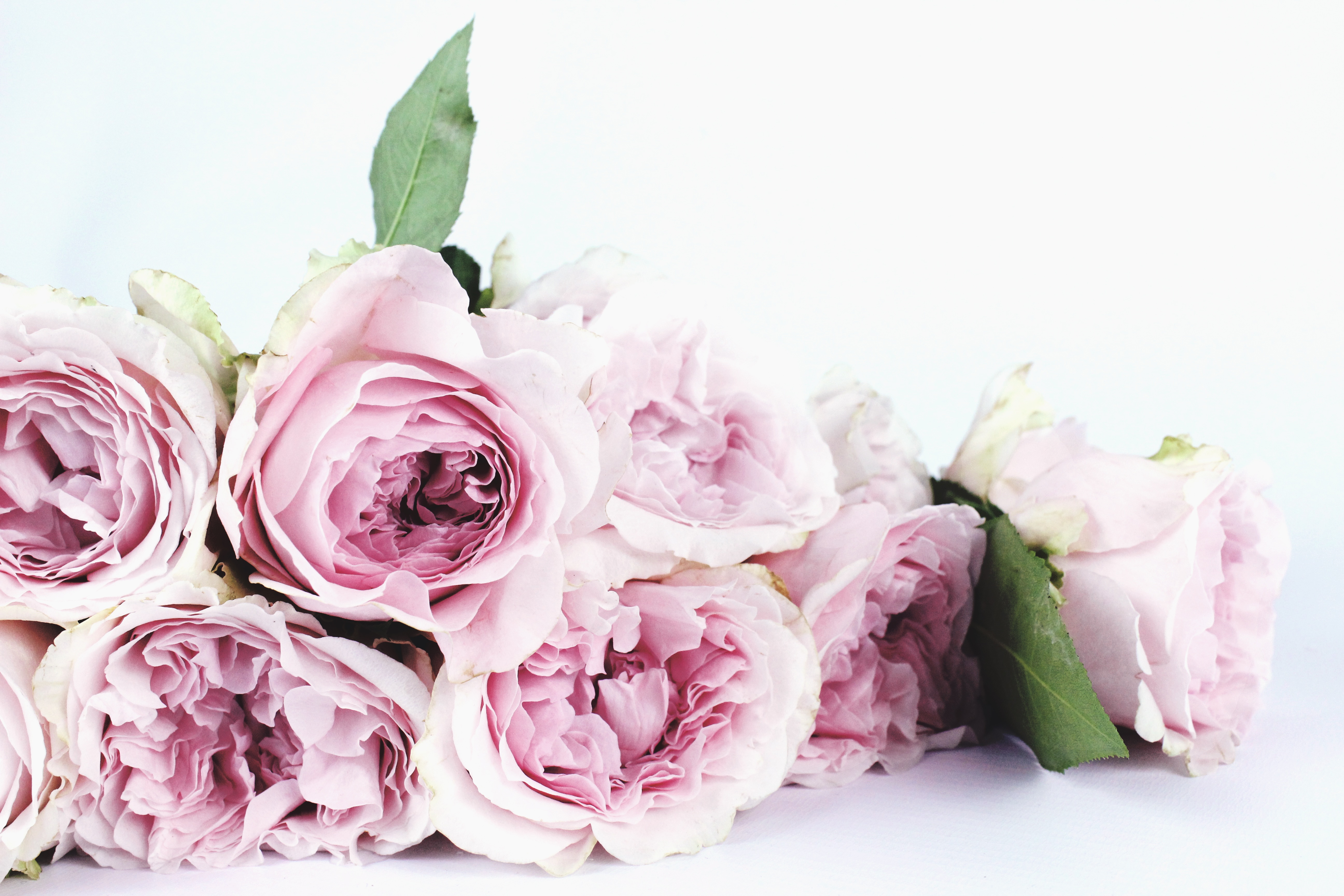 Pink and White Roses · Free Stock Photo
