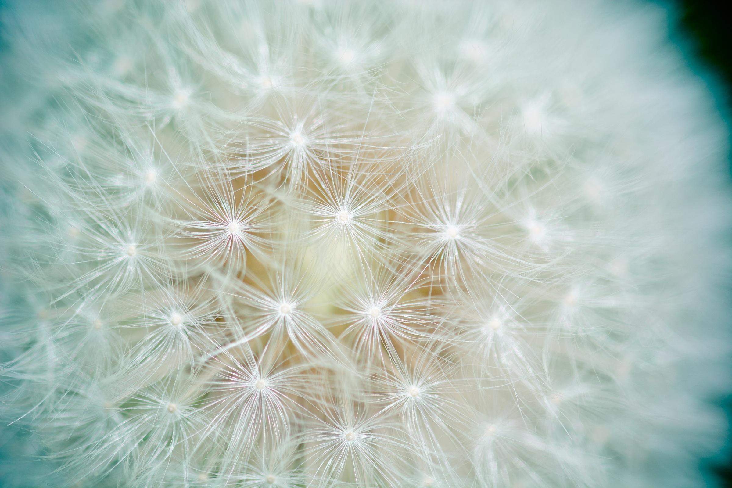 dandelion 183 free stock photo