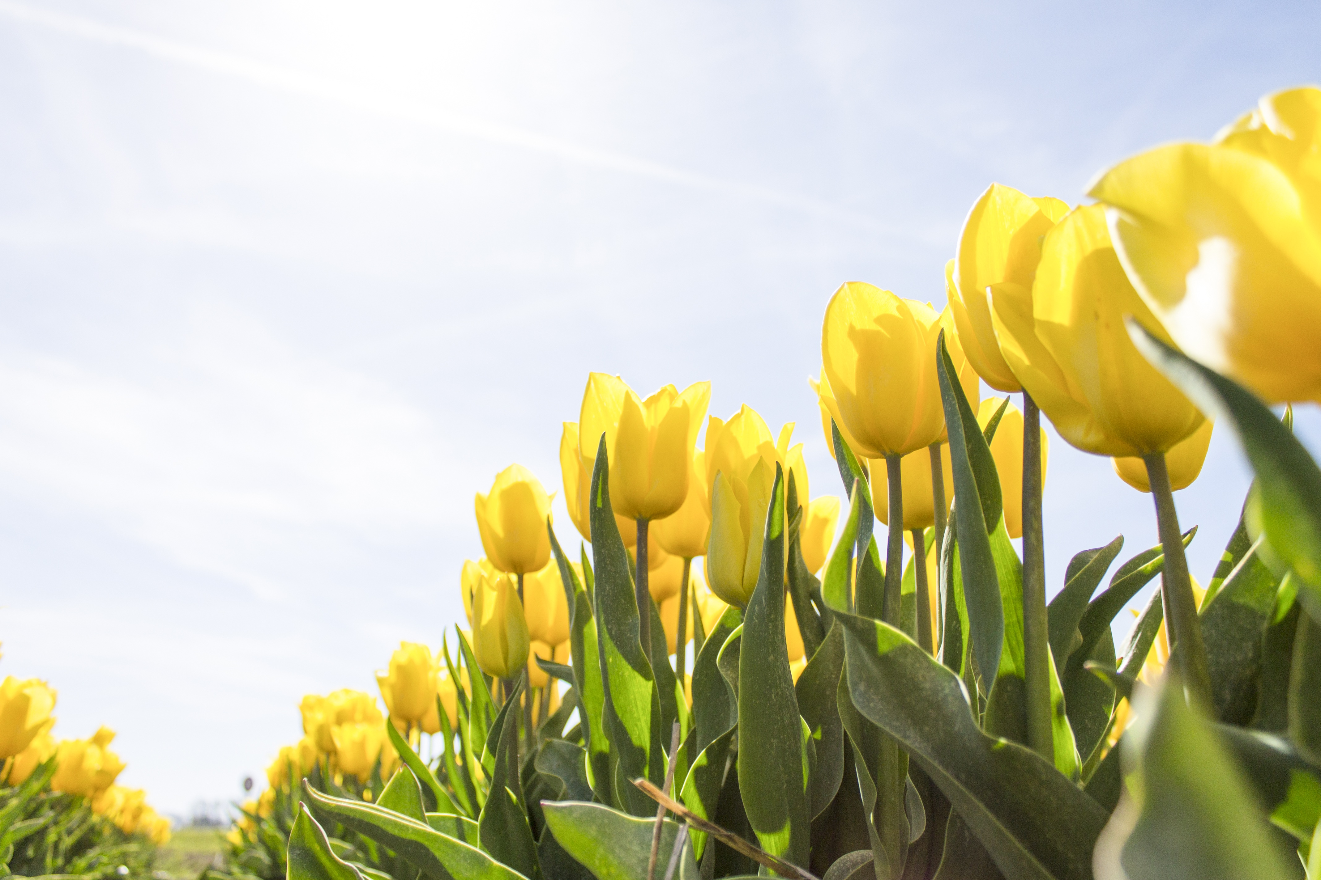 Yellow Tulip Flower Field during Daytime · Free Stock Photo