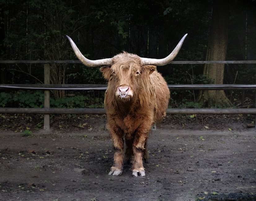 animal, bison, buffalo