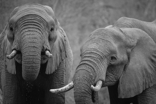 Free stock photo of black-and-white, africa, animals, elephants