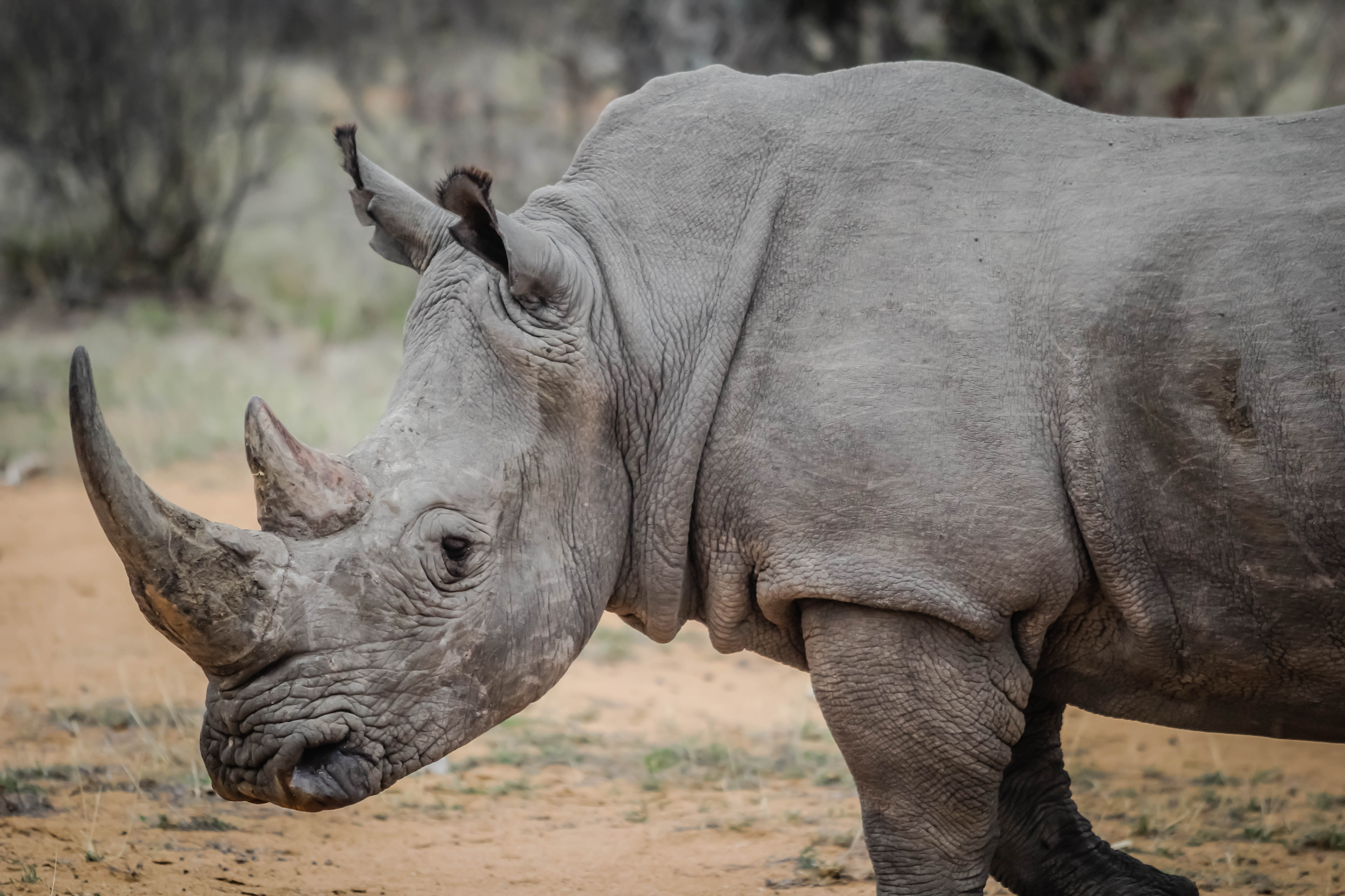 free stock photo of africa animal rhino. Black Bedroom Furniture Sets. Home Design Ideas