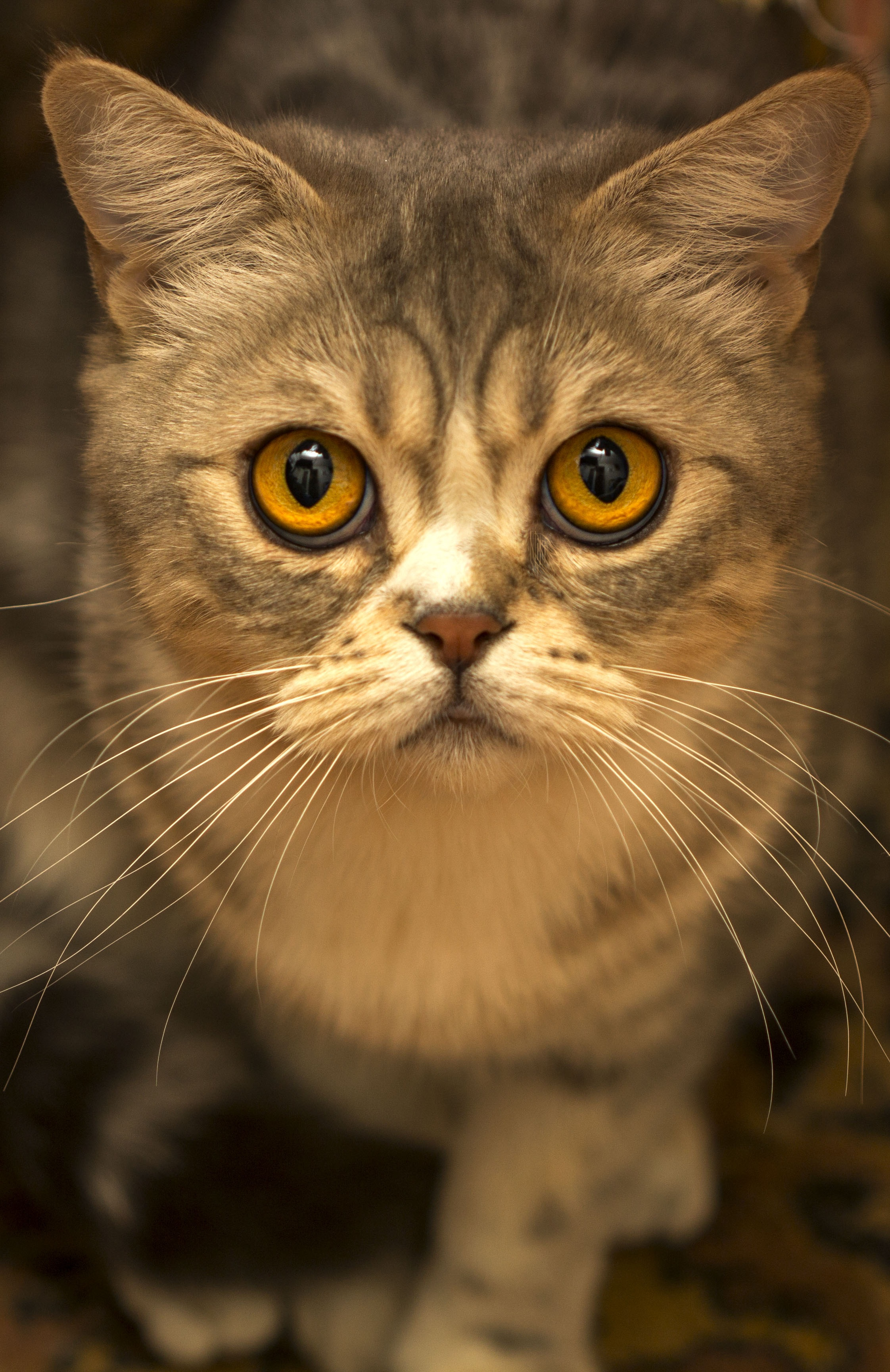 Brown Tabby Cat Close Up Photo · Free Stock Photo