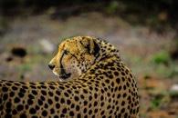 africa, cat, safari