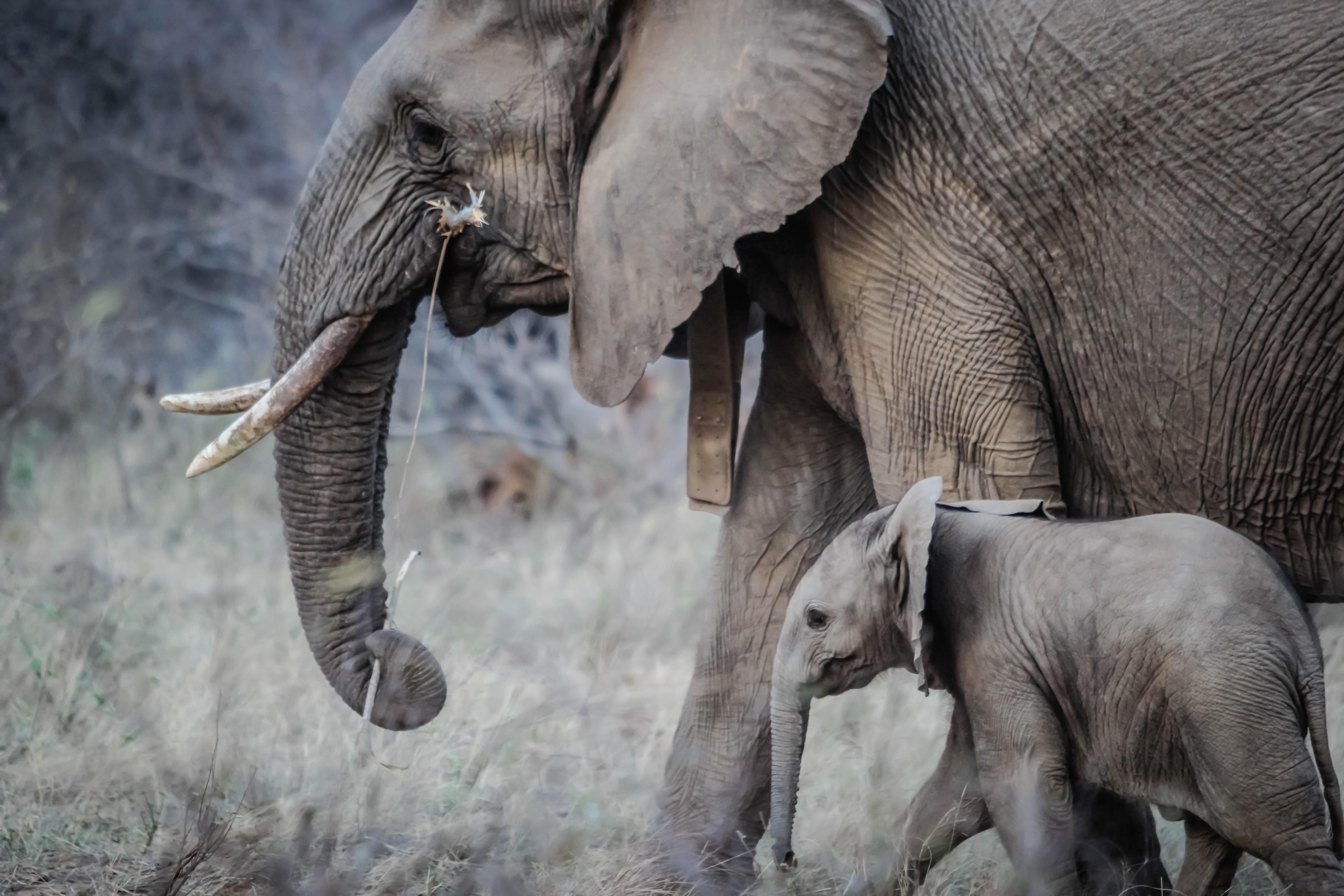 free stock photo of africa elephant calf elephant trunk