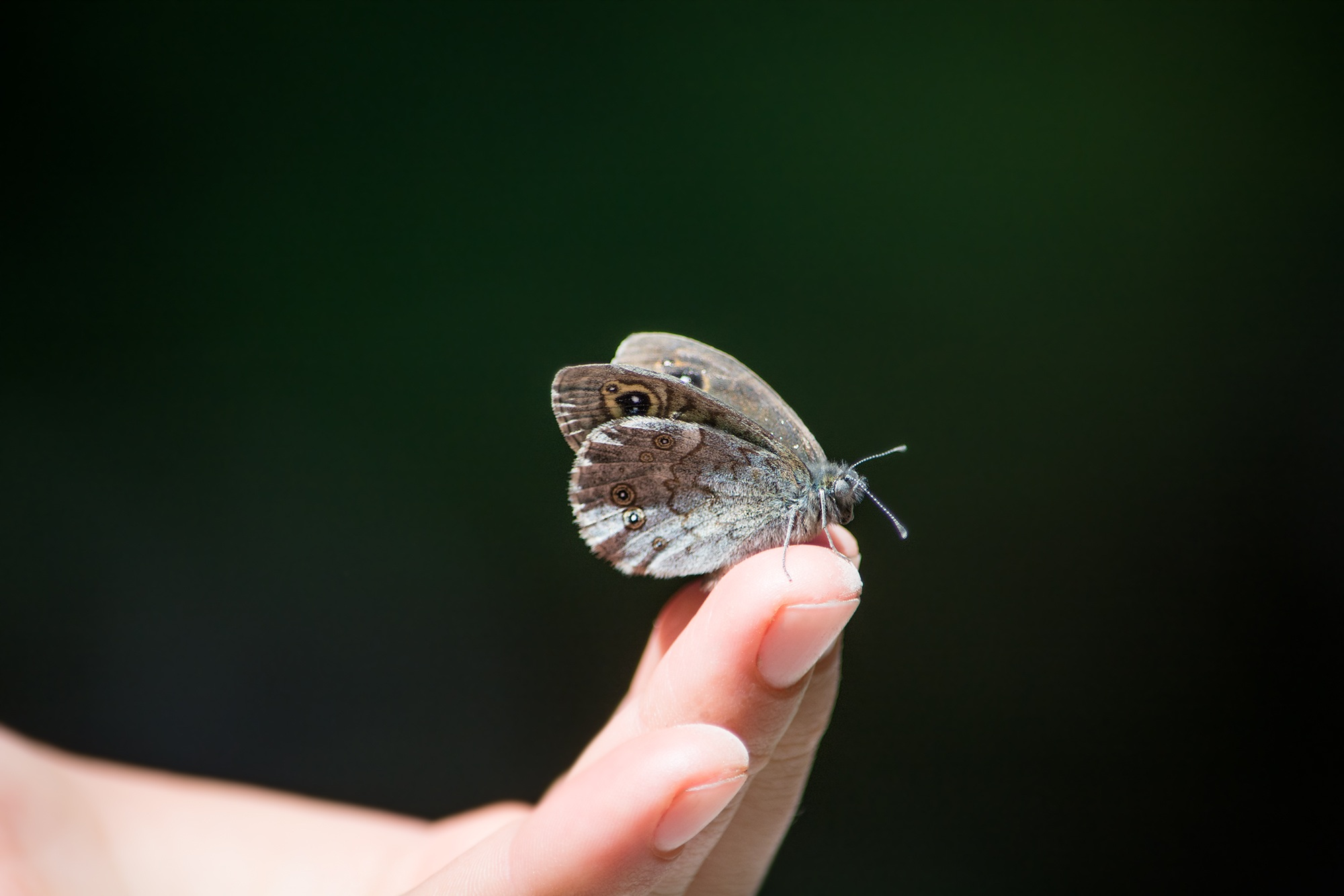 Uncategorized Butterfly Hand owl butterfly on human finger free stock photo download