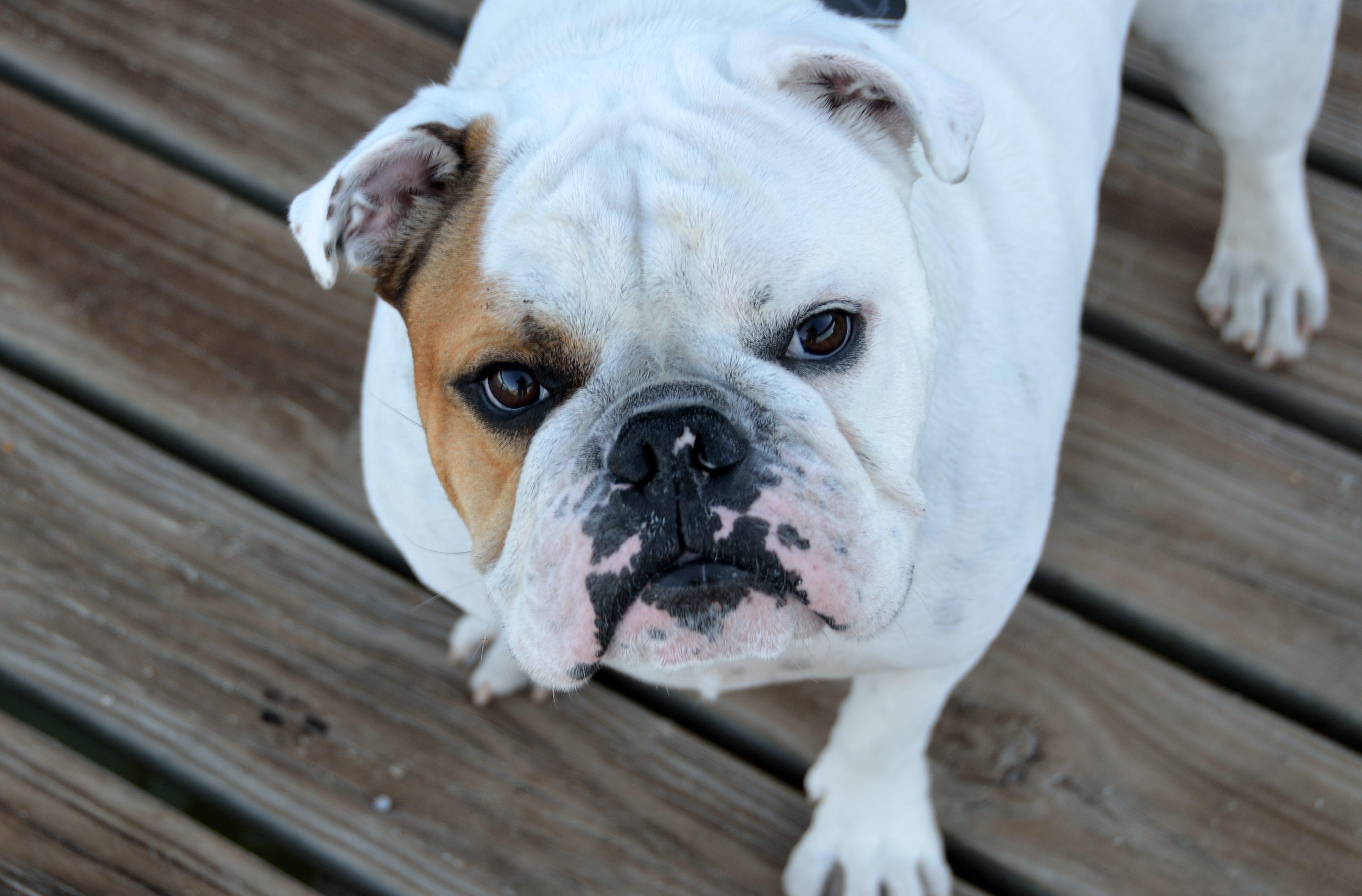 Free stock photos of bulldog Pexels