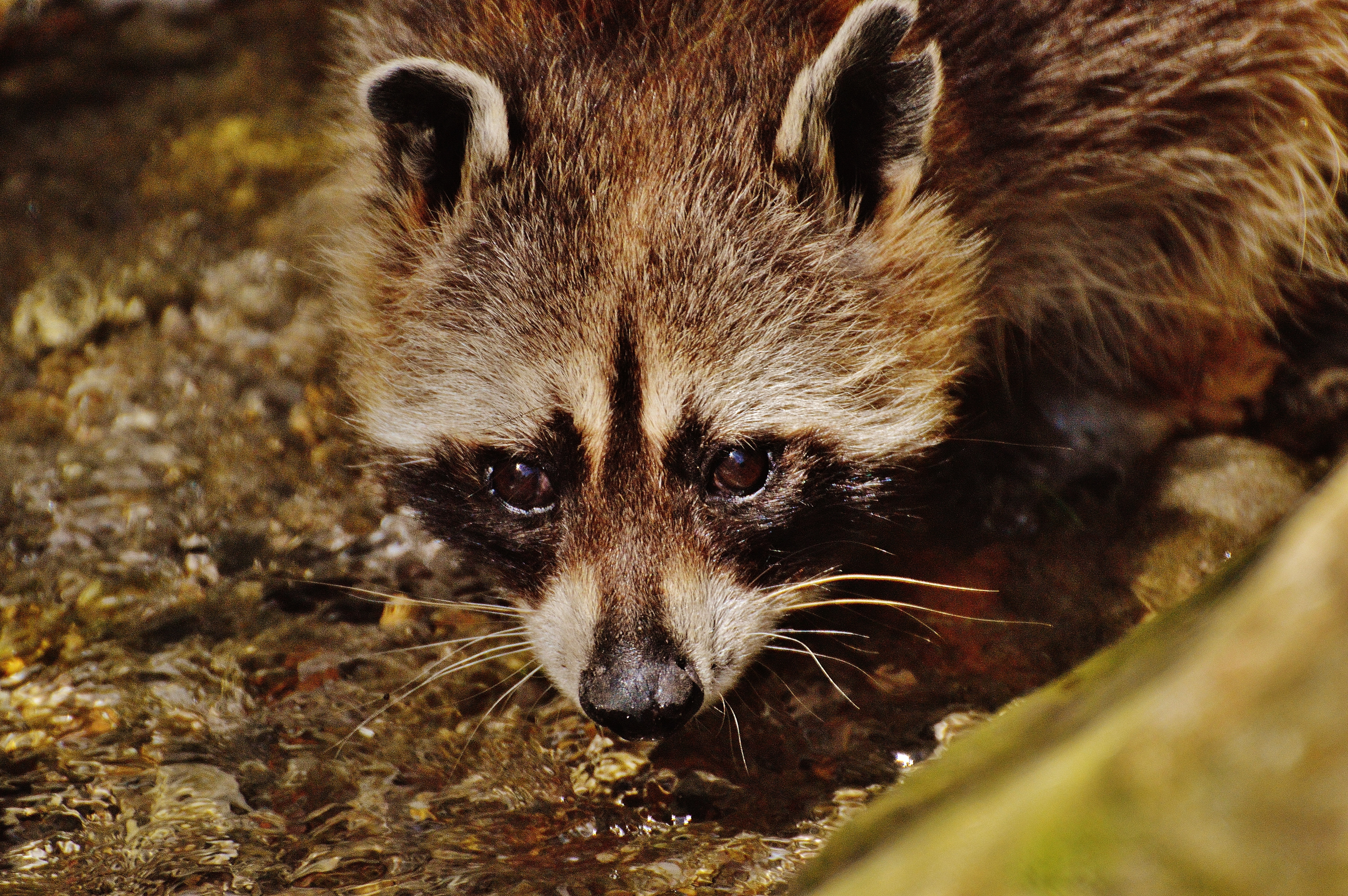 free stock photo of drink raccoon water