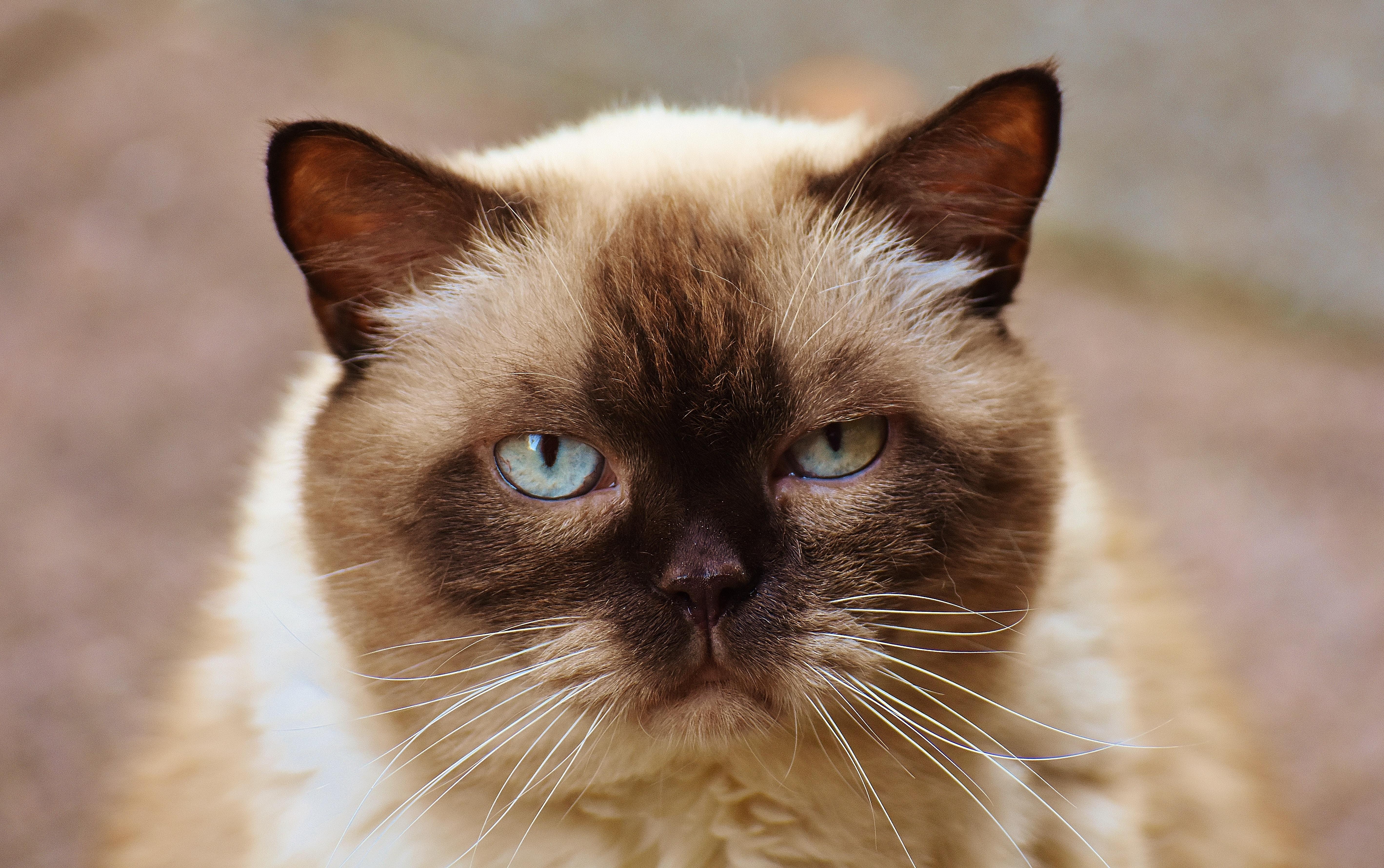 Himalayan Cat Eye Color Change