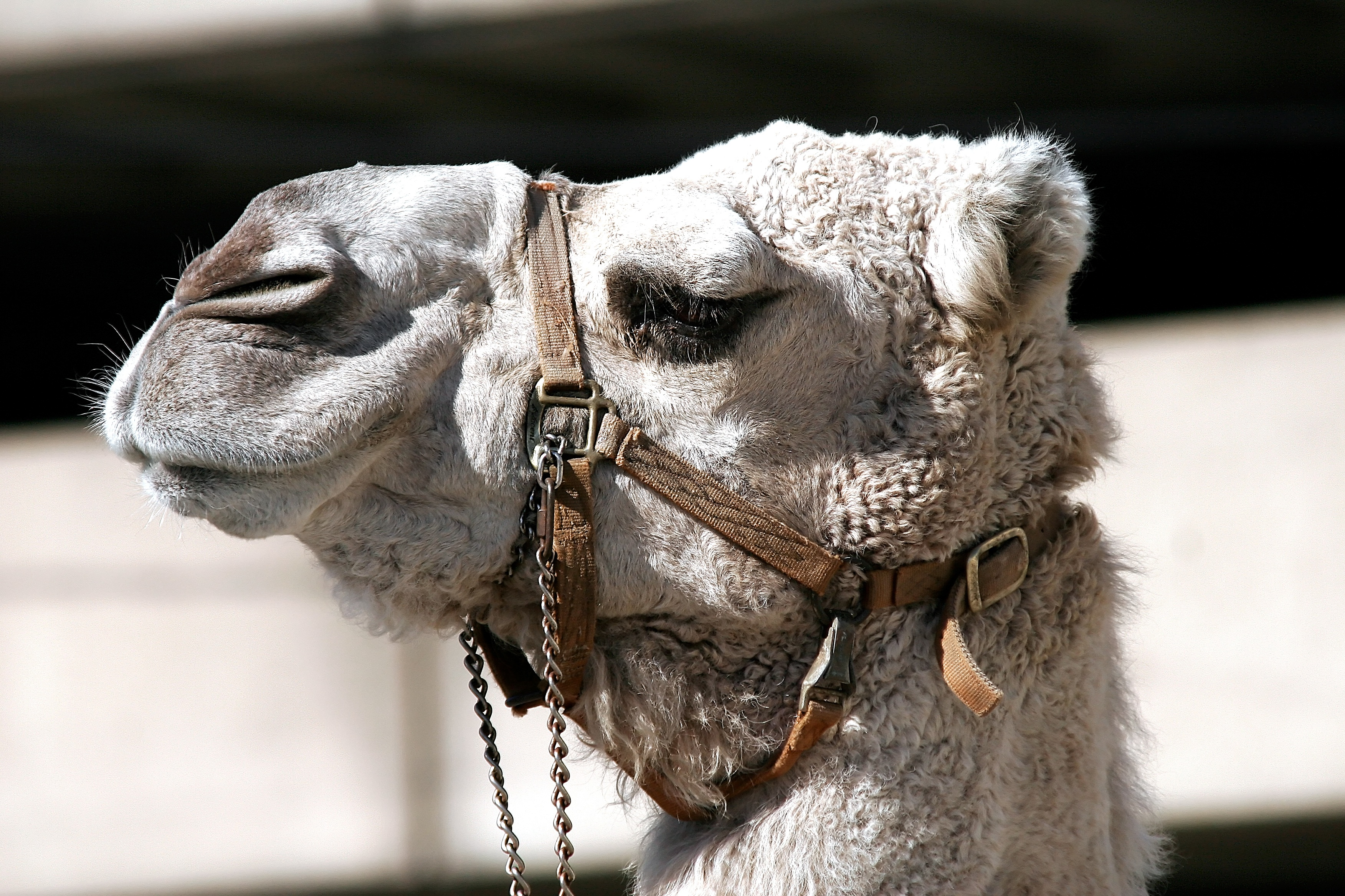 camel-bridle-animal-head-162283.jpeg (3504×2336)