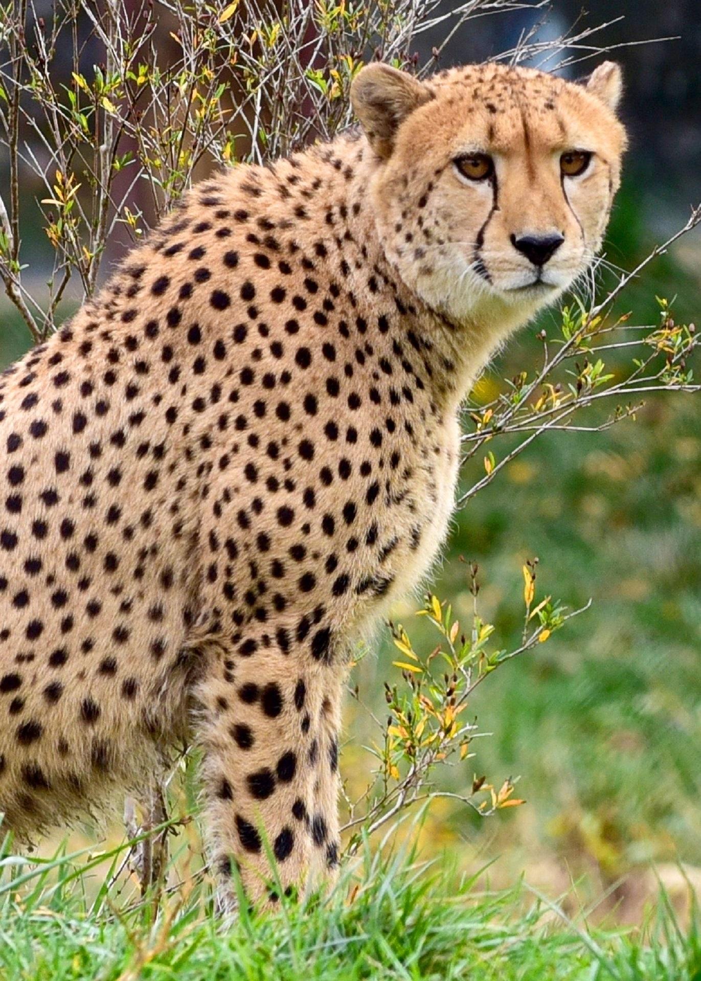 Cheetah Cat Pictures