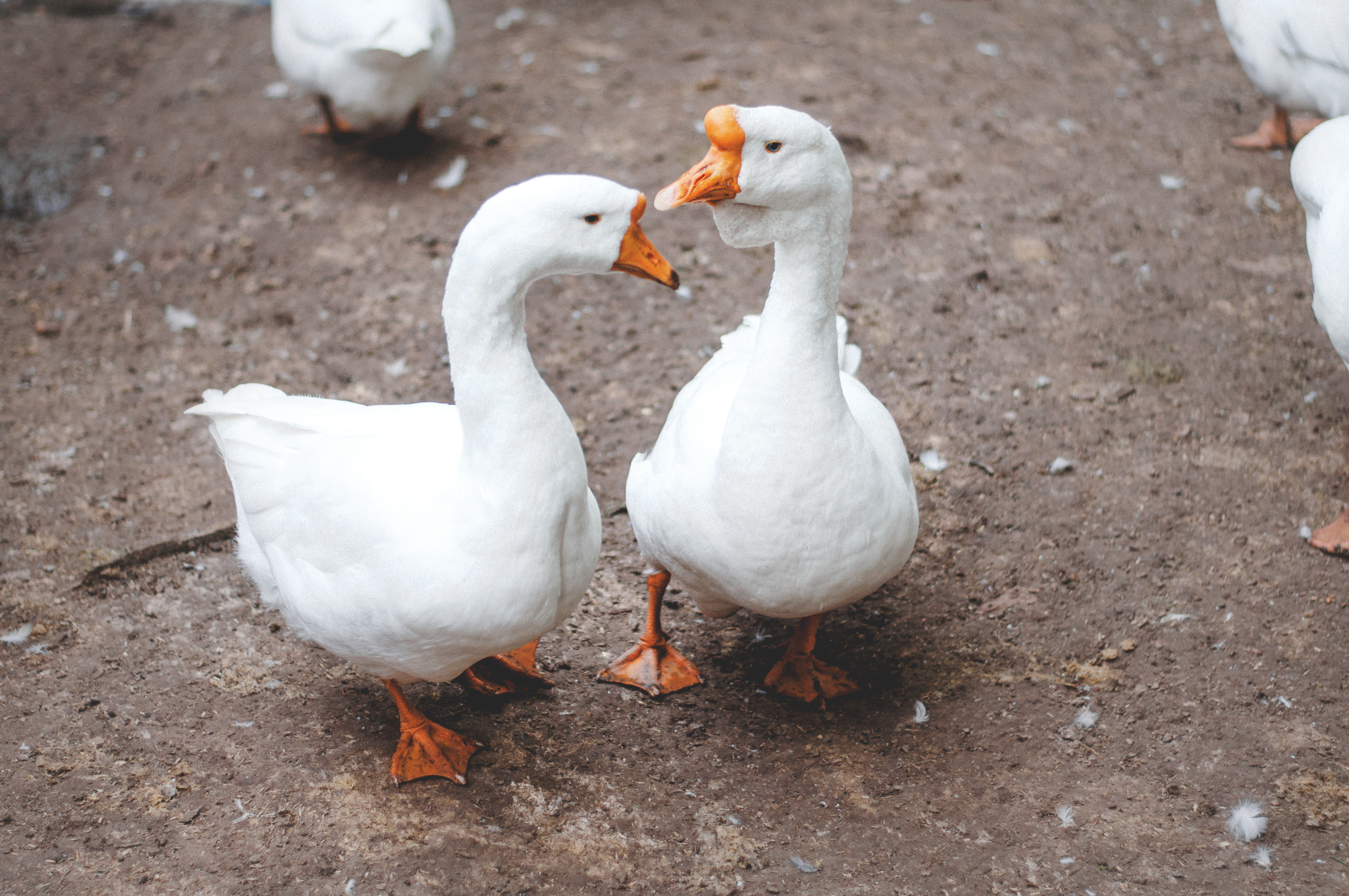 free stock photo of animals geese water birds