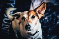 White Brown Short Coat Medium Dog
