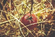 Red Tomato at Dried Plant