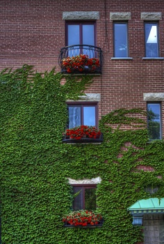 Free stock photo of flowers, building, windows, vine