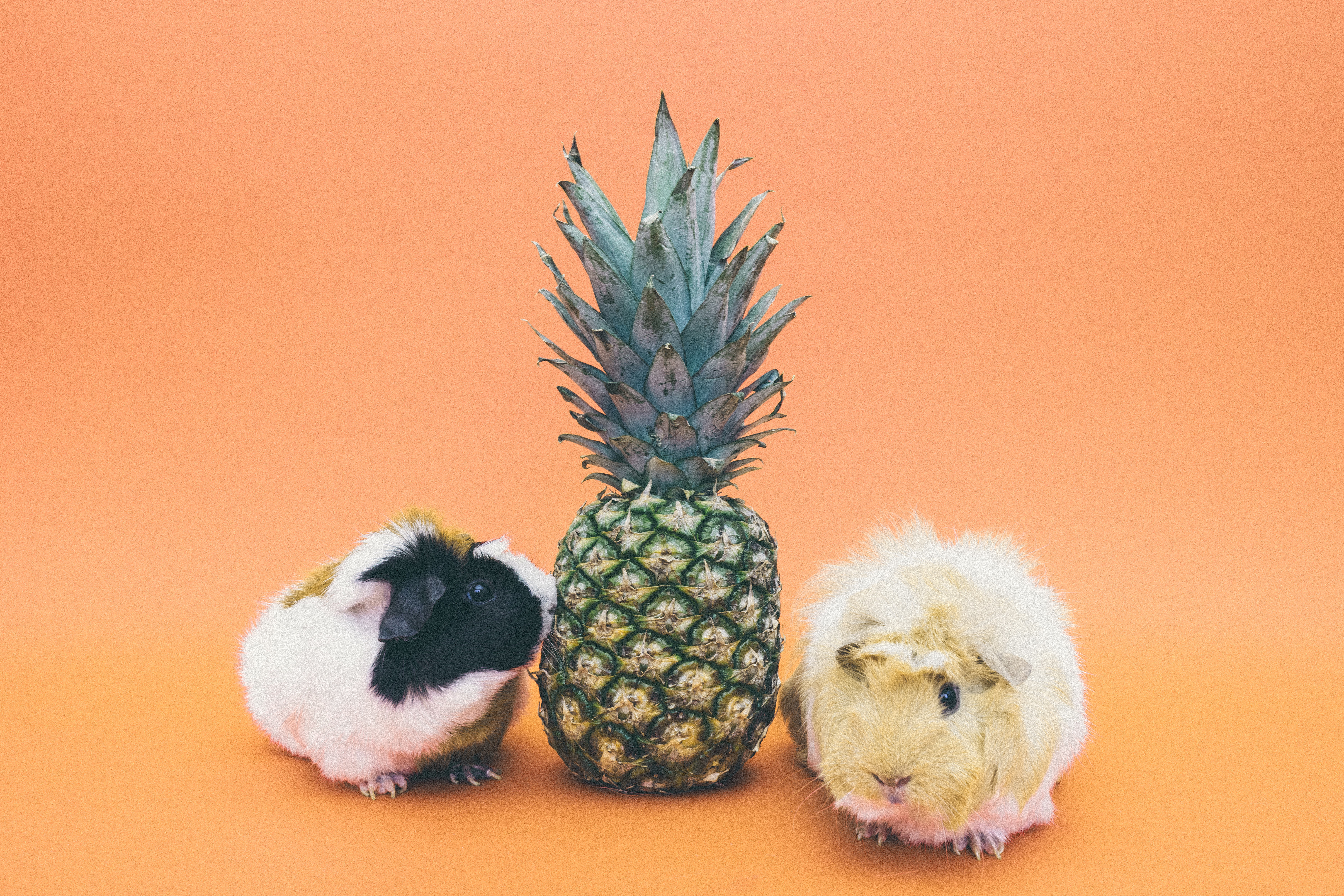pineapple fruit between 2 guinea pig free stock photo. Black Bedroom Furniture Sets. Home Design Ideas