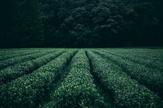 Free stock photo of field, agriculture, tea, asia