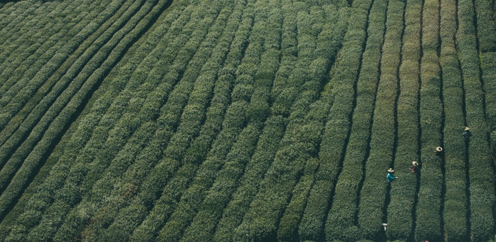 Free stock photo of people, field, agriculture, tea