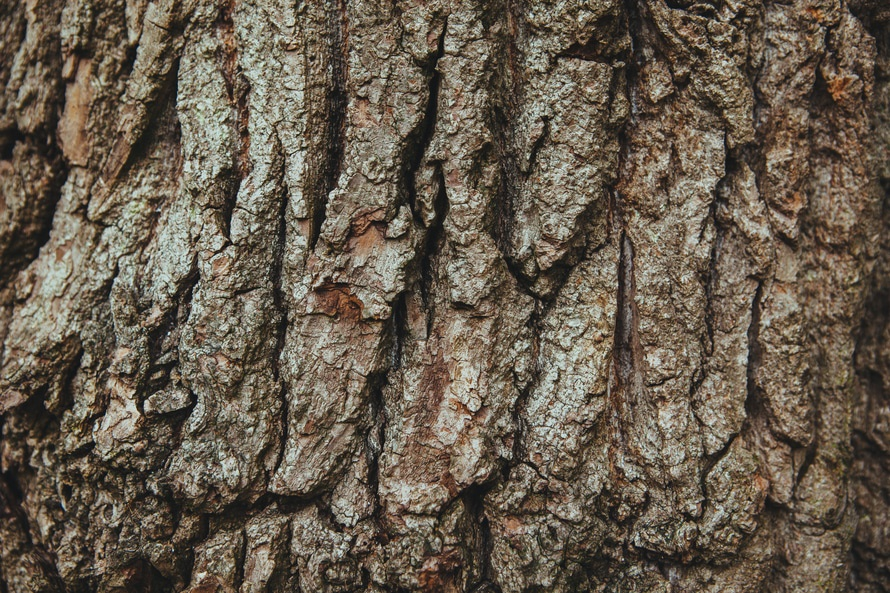 free stock photo of bark oak oak