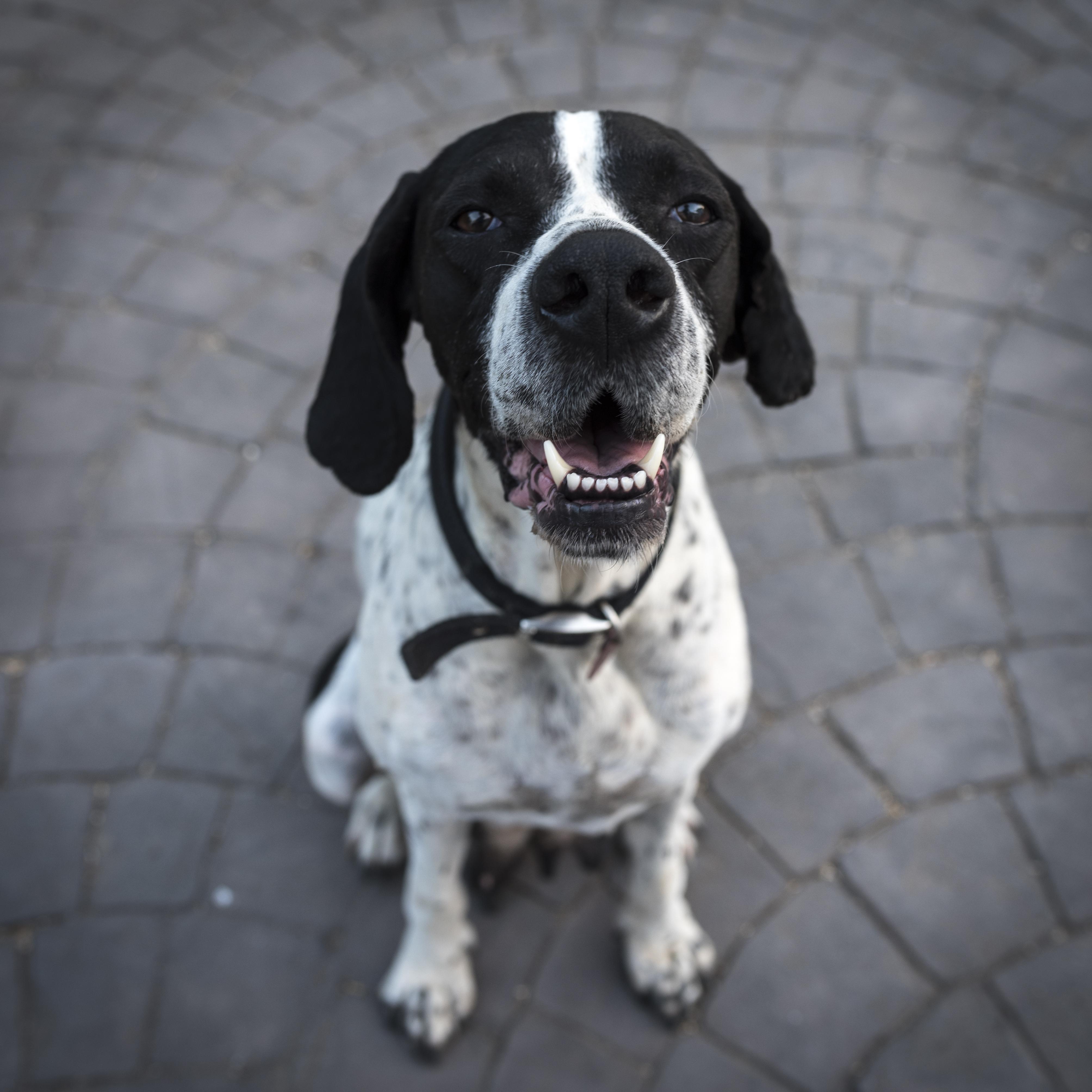 dog dogs training pexels aggressive short collar tips pets bar shock alpha cincinnati personal obedience raise programs pet pointer closeup