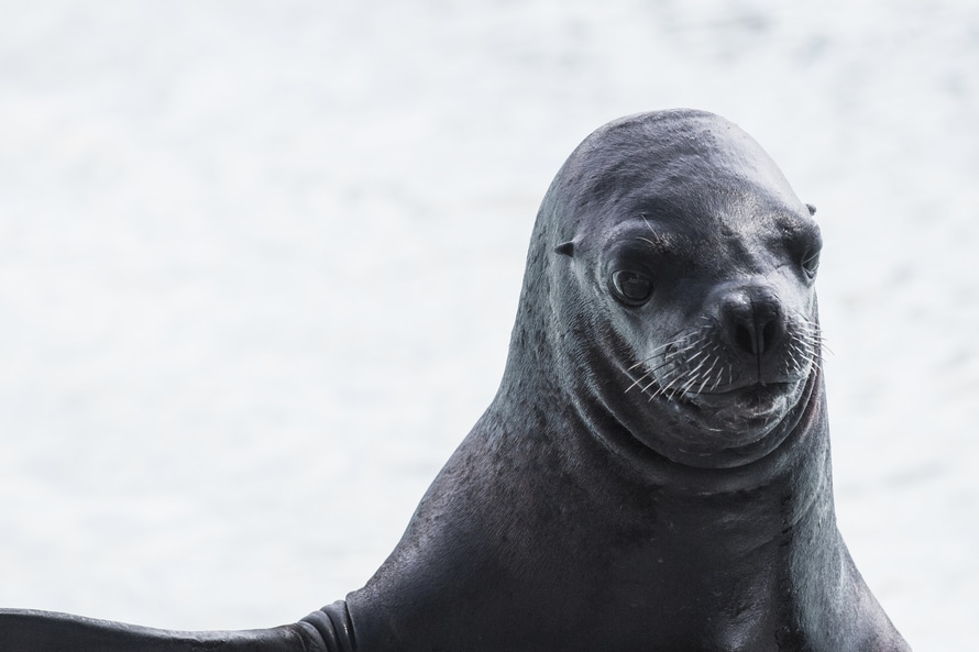 animal, sea dog, seal