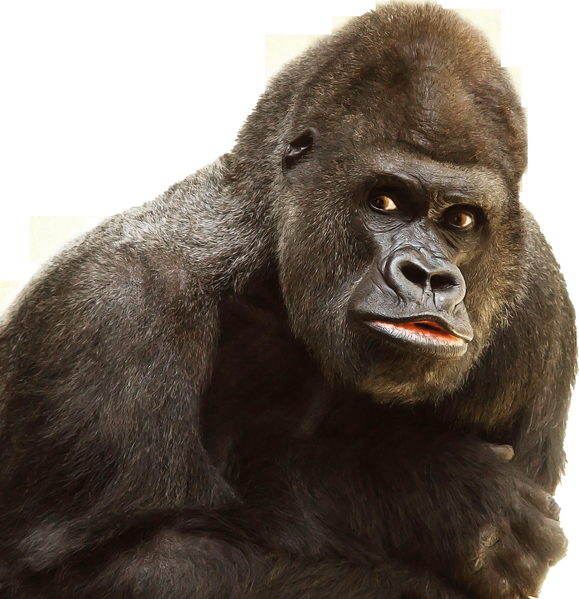 Free stock photo of animal, ape, black