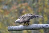 Grey Falcon Perched on Grey Branch in Selective Focus Photography