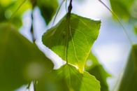 leaves, green, macro