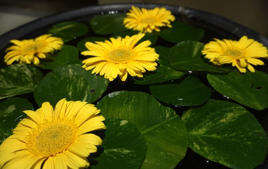 Free stock photo of water, yellow, leaves, flower