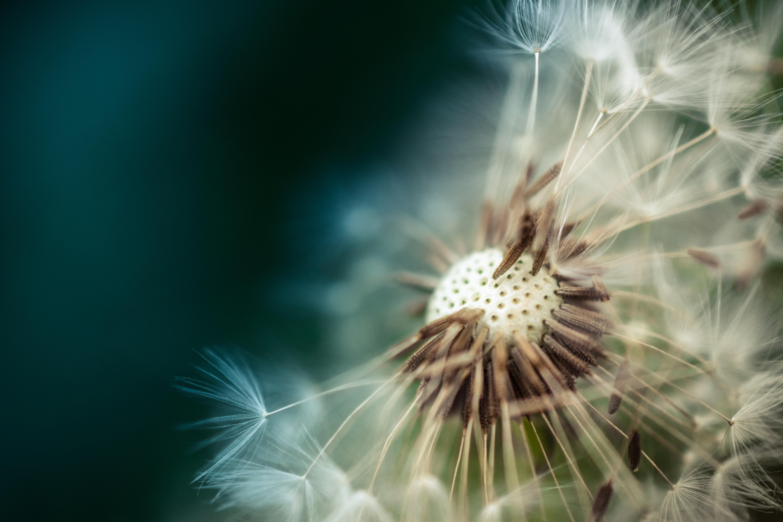 Photographystockphoto photographystockimages photographystock picture - Free Stock Photo Of Plant Flower Macro Dandelion Dandelion Petaled Flowers With Dew Drops On Close Up Photography